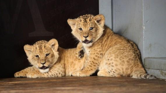 Tahákem roku 2018 byla lvíčata Foto: Zoo Brno