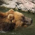 Samice medvěda kamčatského Irina.  Foto: Zoo Brno