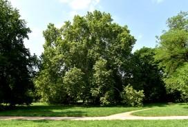 Strom v Lužánkách Foto: MMB